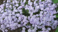 "Флокс шиловидный ""Emerald Cushion Blue"" (Phlox subulata ""Emerald Cushion Blue"")"