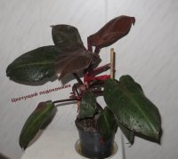 "Филодендрон ""Red Cherry"" (Philodendron ""Red Cherry"")"